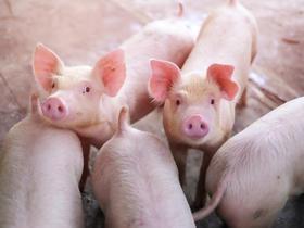 Pig flu virus