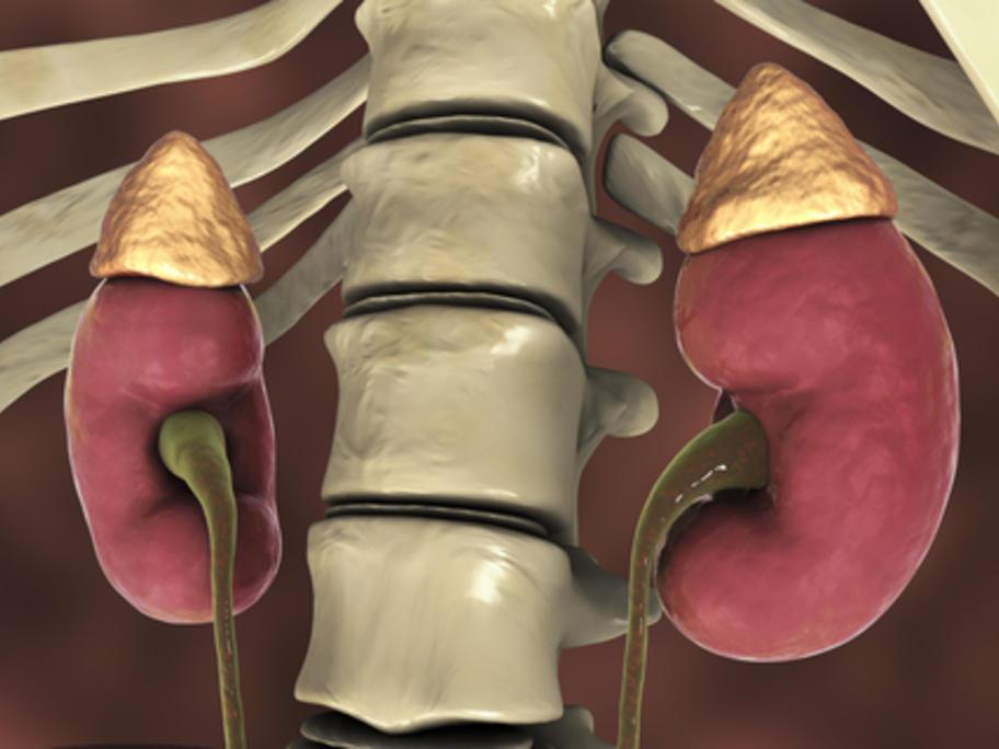 model of the adrenal glands
