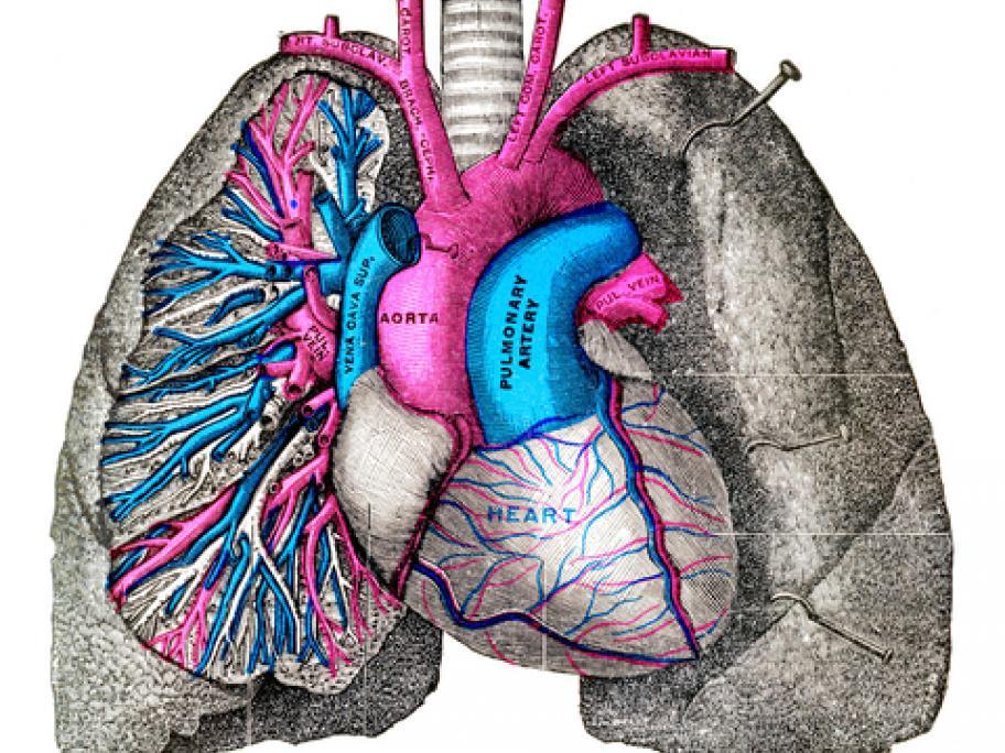 Old anatomy illustration - pulmonary artery